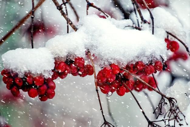 Bossen van viburnum bedekt met sneeuw tijdens een sneeuwval