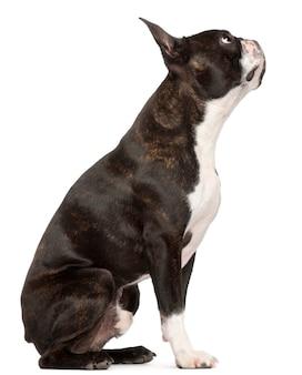Boston terrier, 1 jaar oud, zittend