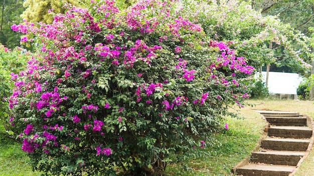 Botanische achtergrond van sierbloeiende paarse bouganvillia-struiken naast lege tuintrappen die naar een kleine dijk leiden