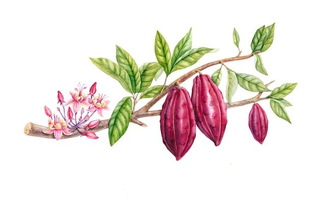 Botanische illustratie. aquarel cacao tak collectie geïsoleerd op wit.