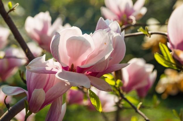 Botanische tuin concept. tak van magnolia. magnolia bloemen. de magnolia bloeit dichte omhooggaand als achtergrond. tedere bloei. floral achtergrond. aroma en geur. lente seizoen. plantkunde en tuinieren