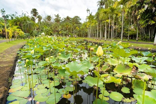 Botanische tuin in pamplemousses, mauritius vijver in de botanische tuin van mauritius.
