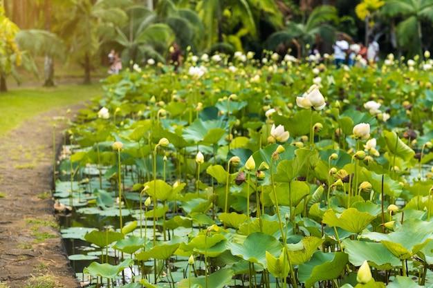 Botanische tuin in pamplemousses, mauritius. vijver in de botanische tuin van mauritius.