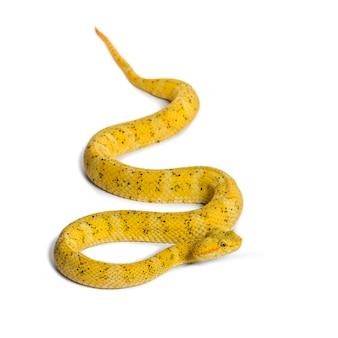 Bothriechis schlegelii, bothriechis schlegelii, de wimperadder, is een giftige pitadder tegen wit