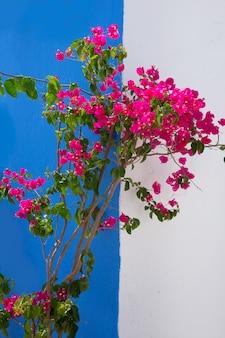 Bougainvillea roze bloemen in de middellandse zee