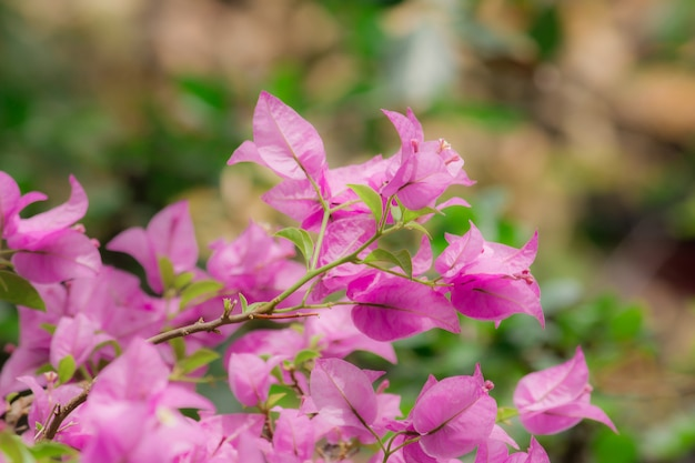 Bougainvillea, roze, boeket bloemen