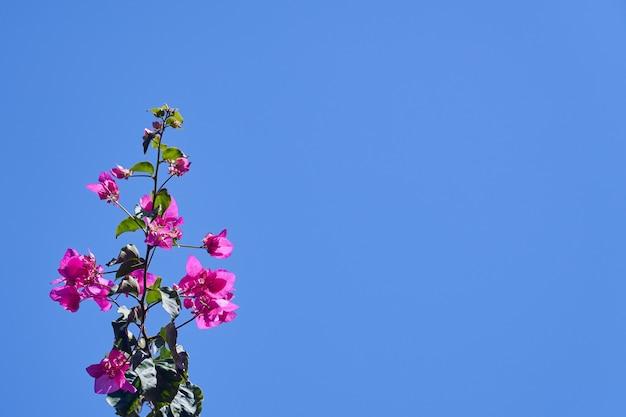 Bougavillia exotisch bloeiende struik in roze kleurtint in kreta griekenland tegen een helderblauwe lucht