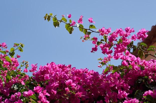 Bougavillia exotische bloeiende struik in roze kleurtint in kreta griekenland tegen een heldere hemel