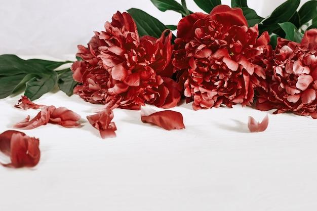 Bourgondische pioenroos. bloeiende bloemen van pioenen.