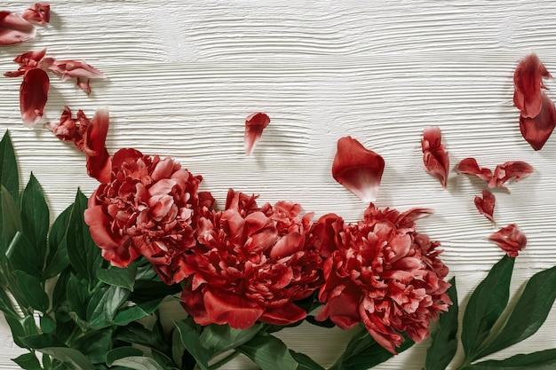 Bourgondische pioenroos. bloeiende bloemen van pioenrozen. rode pioenrozen op witte houten achtergrond. bovenaanzicht. plat liggen.
