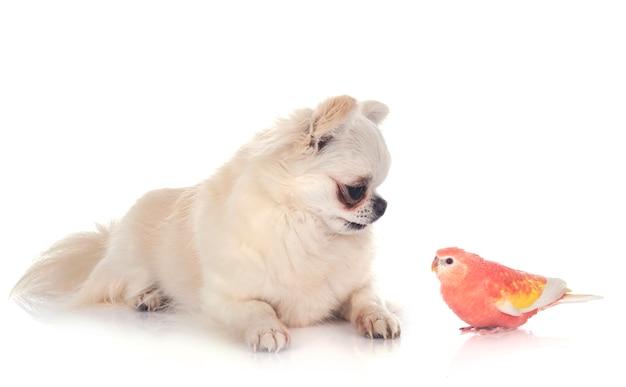 Bourke papegaai en chihuahua voor geïsoleerd wit