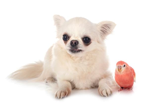 Bourke papegaai en chihuahua voor witte achtergrond
