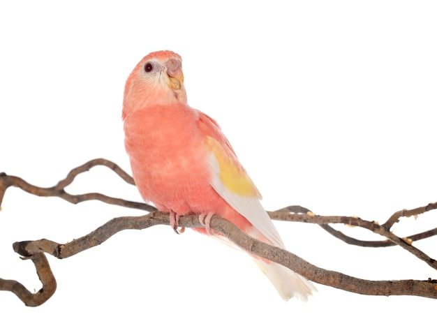 Bourke papegaai op tak