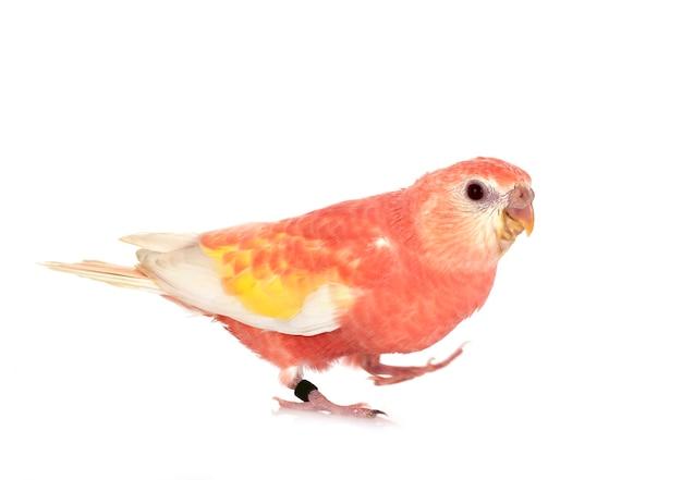 Bourke papegaai voor geïsoleerd wit