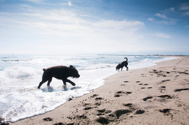 Bouvier des flandres en labrador-honden die plezier hebben in de golven aan de kust