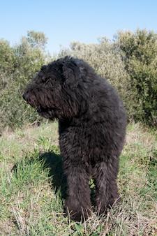 Bouvier des flandres-hond in openlucht