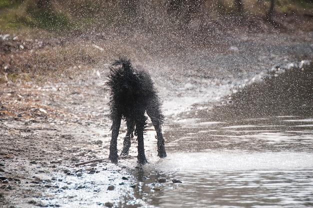 Bouvier des flandres schudt water af