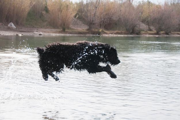 Bouvier des flandres springt in een meer