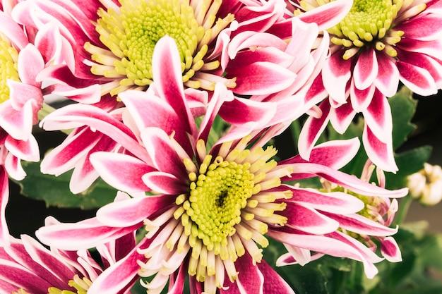 Boven geschoten van chrysanthemumbloemen