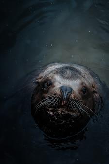 Boven geschoten van een leuke zeeleeuw in het water dat omhoog de camera bekijkt