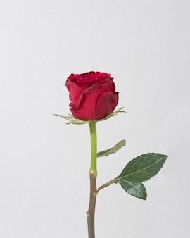 Bovenaanzicht bloeiende rode roos