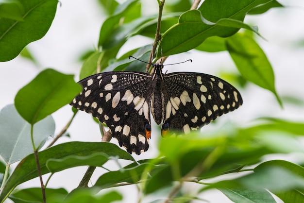 Bovenaanzicht delicate vlinder met geopende vleugels