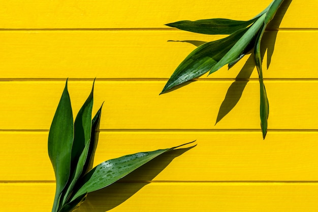 Bovenaanzicht dracaena-sanderiana, liliaceae, lintplan op geel hout.