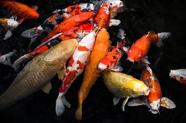 Bovenaanzicht kleurrijke koi vissen