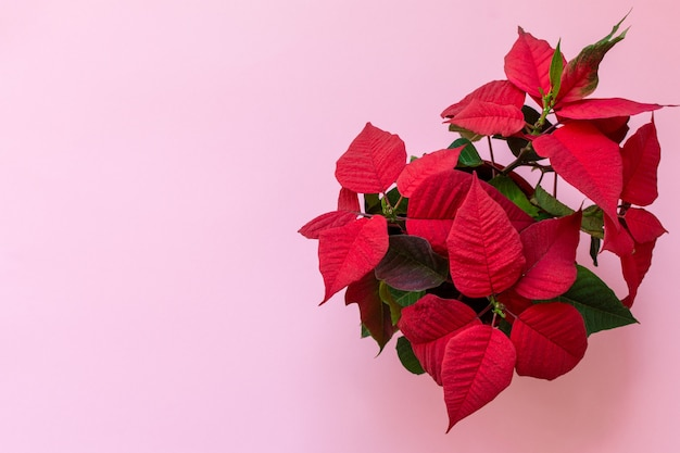 Bovenaanzicht op de poinsettia op roze achtergrond, ook bekend als christmas flowe, kerst bloemendecoratie, rood en groen gebladerte