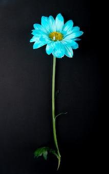 Bovenaanzicht van blauwe kleur chrysanthemum bloem geïsoleerd op zwarte achtergrond