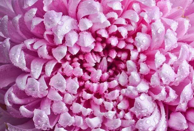 Bovenaanzicht van bloemblaadjes van grote roze chrysanten in dauwdruppels close-up.