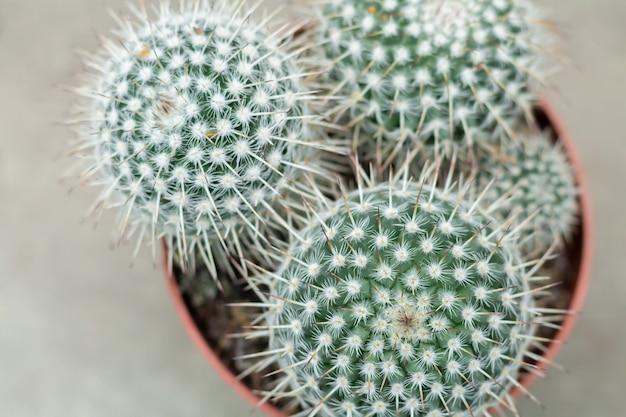 Bovenaanzicht van bolvormige ingemaakte cactus. gouden vatcactus of plant van echinocactus grusonii