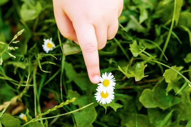 Bovenaanzicht van de hand van het kind die de madeliefje- of kamillebloem in een gras aanraakt.