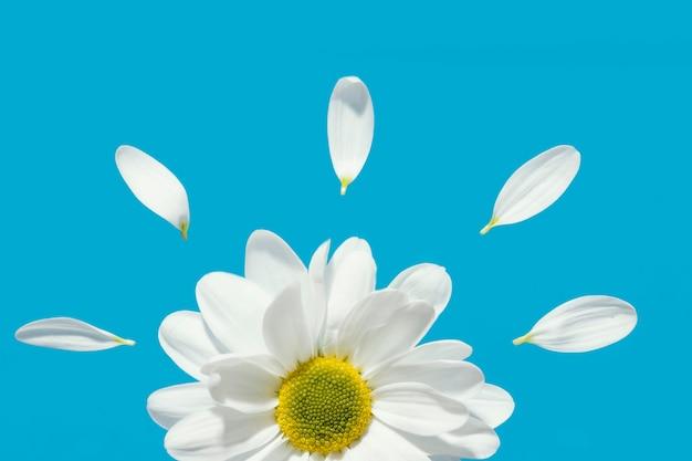 Bovenaanzicht van de lentemadeliefje met bloemblaadjes
