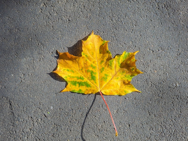Bovenaanzicht van een eenzaam geel esdoornblad dat op het oppervlak van het asfalt ligt.