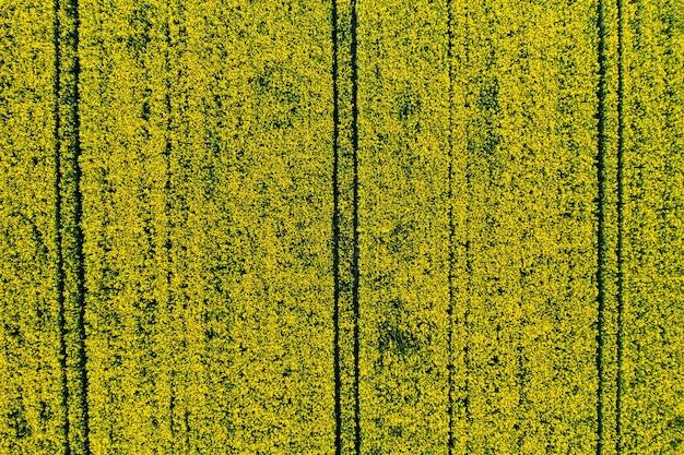 Bovenaanzicht van een geel koolzaad veld in wit-rusland, een agrarisch gebied