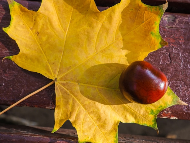 Bovenaanzicht van een glanzende bruine kastanjeboom liggend op een geel esdoornblad op een bankje