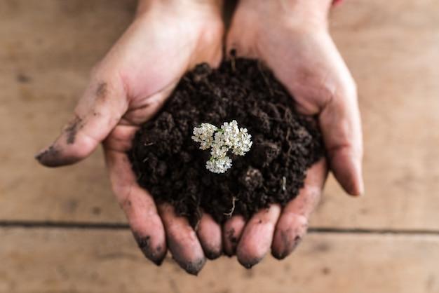 Bovenaanzicht van een man met een handvol rijke vruchtbare grond met een sierlijke witte zomerbloem