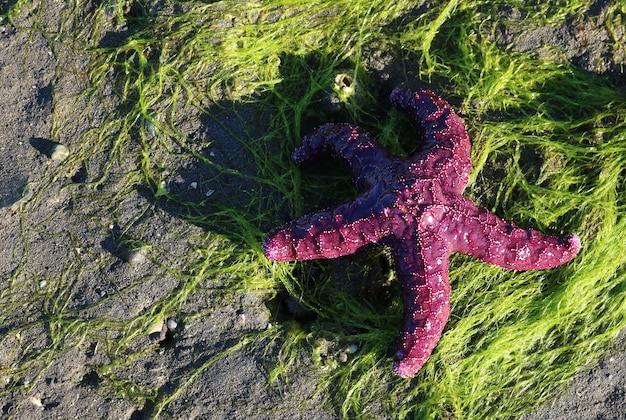 Bovenaanzicht van een paarse zeester op een zeewier