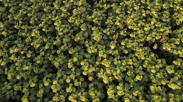 Bovenaanzicht van een rijpende zonnebloemplantage, grote koppen met zonnebloempitten.