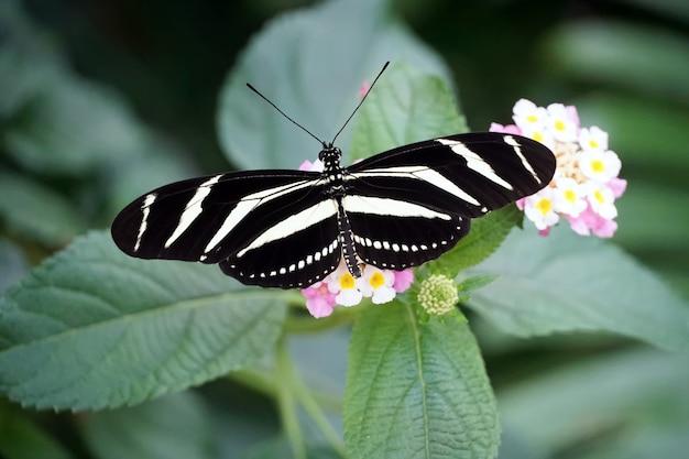 Bovenaanzicht van een zebra longwing-vlinder met open vleugels op een lichtroze bloem
