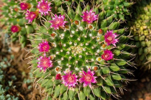 Bovenaanzicht van groene cactus met scherpe naalden en roze paarse bloem