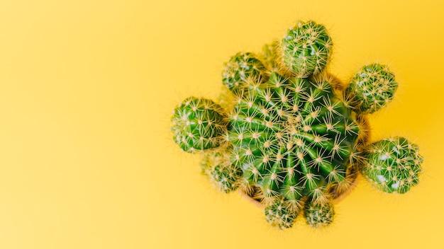 Bovenaanzicht van groene cactus op geel