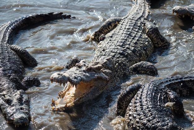 Bovenaanzicht van grote krokodillen op moerasvijver in bos. groep gevaarlijke dieren in het wild op het water.