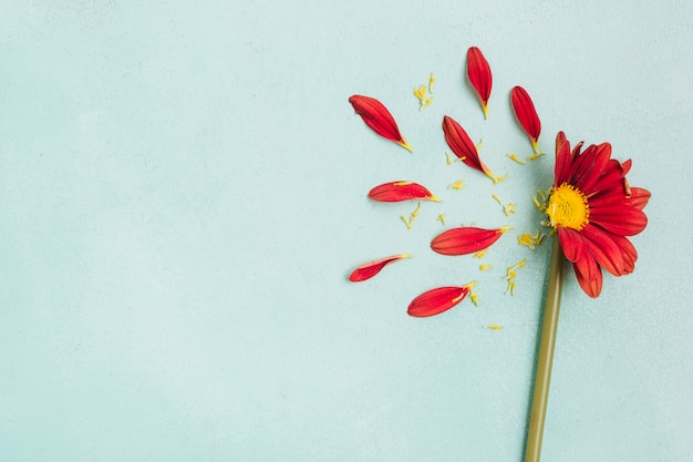 Bovenaanzicht van lente madeliefje met bloemblaadjes