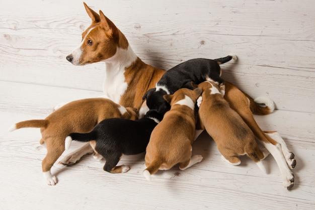 Bovenaanzicht van moeder basenji voedt haar puppy's