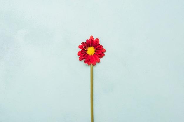 Bovenaanzicht van prachtige lente daisy