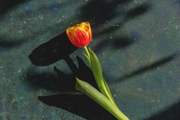 Bovenaanzicht van rode tulp op blauw