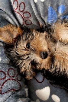 Bovenaanzicht van schattige yorkshire terriër pup rusten in zijn bed
