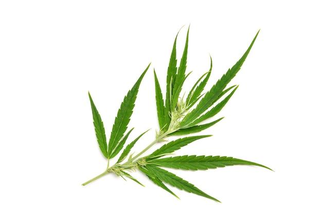 Bovenaanzicht van vers cannabisblad op witte achtergrond.